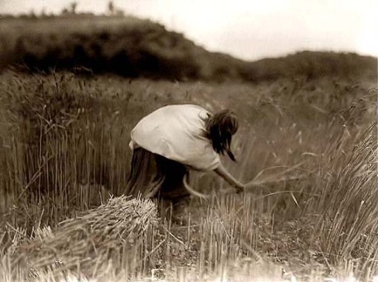 Apache Woman Reaping and Gathering Wheat. It was made in 1906