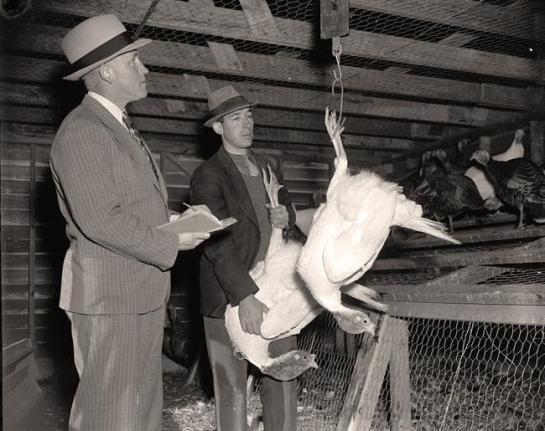 Weighing Turkey at Dept. of Agric. Exp. Farm, Beltsville. It was taken 1937 or 1938