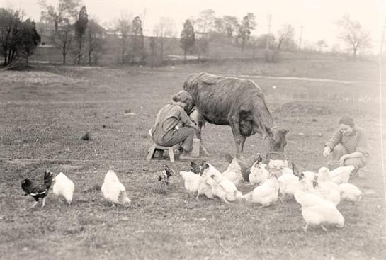 Woman Milking Cow. Another woman is feeding chickens. It was made in 1919