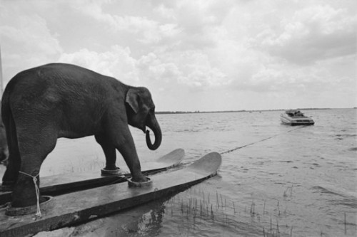above-water-animal-animal-antics-animals-on-skis-athletic-elephant-beach-Favim.com-38857