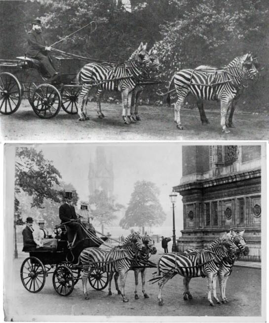 zebra-ride3